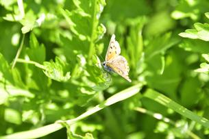 葉に止まるシジミチョウ(チョウ目シジミチョウ科)の写真素材 [FYI04869863]