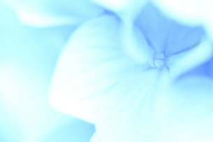 アジサイ 花写真素材の写真素材 [FYI04869871]