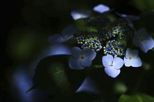アジサイ 花写真素材の写真素材 [FYI04869878]