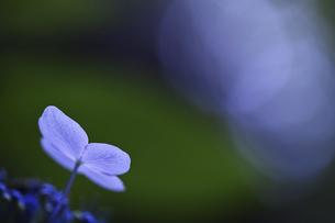 紫陽花 花写真素材の写真素材 [FYI04869880]