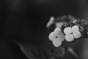 紫陽花 花写真素材の写真素材 [FYI04869881]