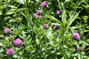 ムラサキツメクサ別名アカツメクサ(シャジクソウ属)の赤紫色の花と葉の写真素材 [FYI04869885]
