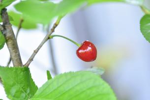サクラ(バラ科サクラ亜科サクラ属)の木に出来た赤いサクランボの実(渋みがあり食料にはならない))の写真素材 [FYI04869950]