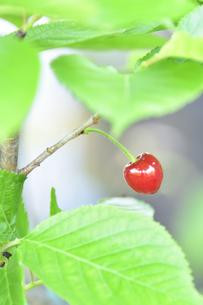 サクラ(バラ科サクラ亜科サクラ属)の木に出来た赤いサクランボの実(渋みがあり食料にはならない))の写真素材 [FYI04869951]