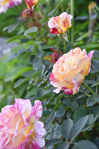 バラ(バラ科バラ属)の白色とオレンジ色と赤の混じった花と葉の写真素材 [FYI04869952]