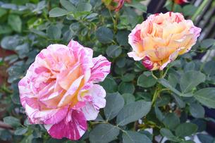 バラ(バラ科バラ属)の白色とオレンジ色と赤の混じった花と葉の写真素材 [FYI04869953]