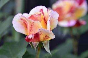 バラ(バラ科バラ属)の白色とオレンジ色と赤の混じった花と葉の写真素材 [FYI04869956]