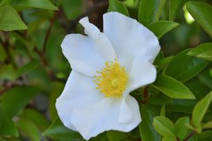 バラ(バラ科バラ属)の白色の花と葉の写真素材 [FYI04869957]