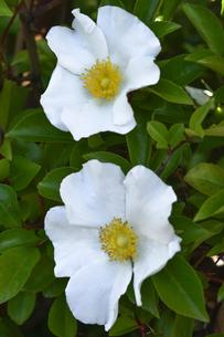 バラ(バラ科バラ属)の白色の花と葉の写真素材 [FYI04869958]