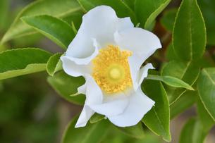バラ(バラ科バラ属)の白色の花と葉の写真素材 [FYI04869959]
