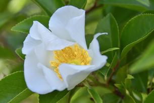 バラ(バラ科バラ属)の白色の花と葉の写真素材 [FYI04869960]