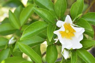 バラ(バラ科バラ属)の白色の花と葉の写真素材 [FYI04869962]