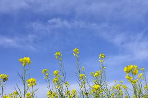 菜の花(アブラナ科アブラナ属)の黄色い花と流れるように浮かぶ雲の光景の写真素材 [FYI04869972]