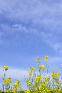 菜の花(アブラナ科アブラナ属)の黄色い花と流れるように浮かぶ雲の光景の写真素材 [FYI04869973]