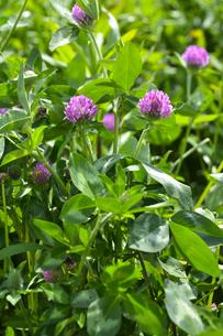ムラサキツメクサ別名アカツメクサ(シャジクソウ属)の赤紫色の花の写真素材 [FYI04869984]