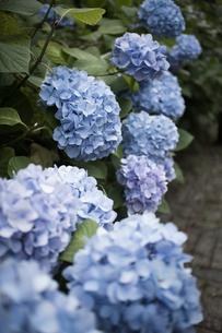 緑道に咲いた青い紫陽花の写真素材 [FYI04870099]