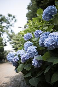 緑道に咲いた青い紫陽花の写真素材 [FYI04870100]