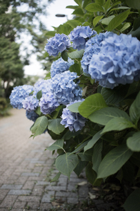 緑道に咲いた青い紫陽花の写真素材 [FYI04870101]