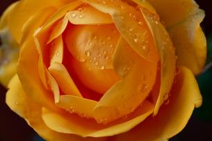 黄色いバラのクローズアップの写真素材 [FYI04870348]