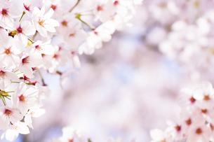 春満開の桜の写真素材 [FYI04870517]