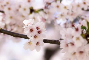 春満開の桜の写真素材 [FYI04870526]