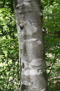 アオハダの樹皮の写真素材 [FYI04870565]