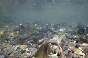 川底に群れるカラフトマス(北海道・知床)の写真素材 [FYI04870571]