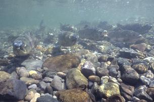 川底に群れるサケ(北海道・知床)の写真素材 [FYI04870587]