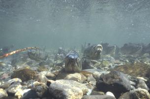 川底に群れるサケ(北海道・知床)の写真素材 [FYI04870588]