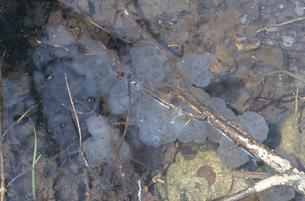 エゾサンショウウオの卵塊(北海道・鹿追町)の写真素材 [FYI04870604]