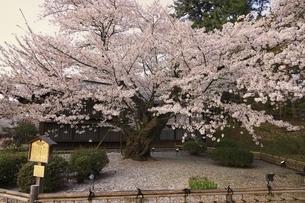 弘前公園最長寿のソメイヨシノの写真素材 [FYI04870617]