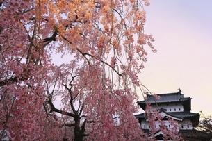 弘前公園 弘前城天守と枝垂れ桜の写真素材 [FYI04870621]