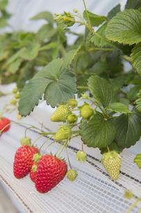 ハウス栽培のいちごの写真素材 [FYI04870765]