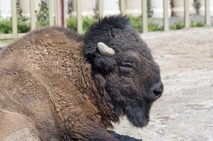 東武動物公園のアメリカンバイソンの写真素材 [FYI04870769]