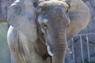 東武動物公園のアフリカゾウの写真素材 [FYI04870773]