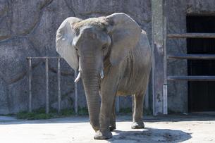 東武動物公園のアフリカゾウの写真素材 [FYI04870775]