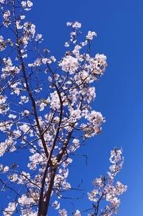 紺青の空に咲く白桜(大島桜)の写真素材 [FYI04870901]