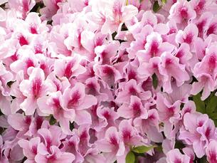 ツツジの花の写真素材 [FYI04870973]