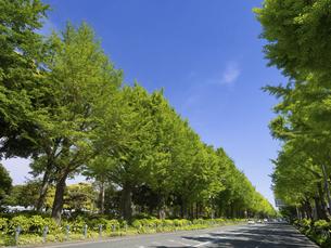 横浜・山下公園通りのイチョウ並木 神奈川県の写真素材 [FYI04871082]