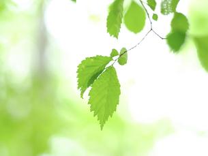 緑の葉の写真素材 [FYI04871226]