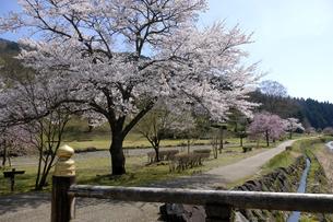 朝倉遺跡の桜の写真素材 [FYI04871398]