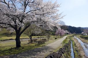 朝倉遺跡の桜の写真素材 [FYI04871399]