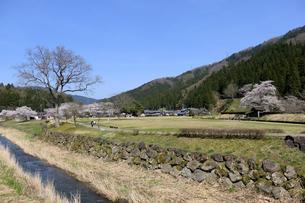 朝倉遺跡の桜の写真素材 [FYI04871400]