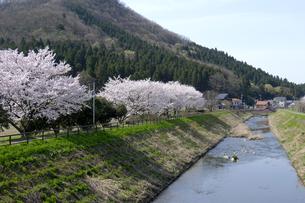 鞍谷川の桜並木の写真素材 [FYI04871402]