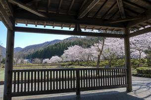 花はす公園の桜の写真素材 [FYI04871406]