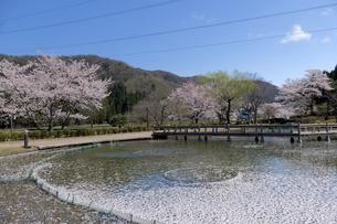 花はす公園の桜の写真素材 [FYI04871424]