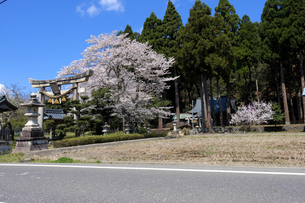 杣山神社の桜の写真素材 [FYI04871428]