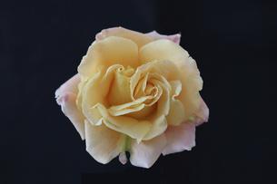 黒背景の薔薇の花首の写真素材 [FYI04871812]