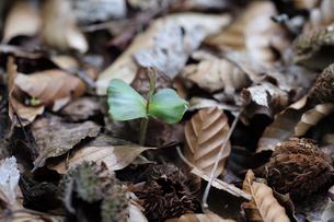 枯葉が積もる地面から顔を出したブナの芽の写真素材 [FYI04872377]