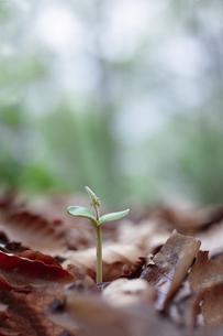 枯葉が積もる地面から顔を出したブナの芽の写真素材 [FYI04872381]